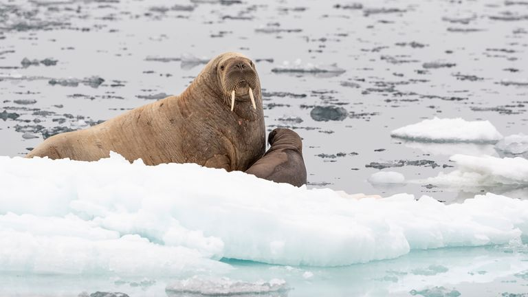 A female Atlantic walrus and her young offspring on an ice floe. Pic: Richard Barrett / WWF-UK
