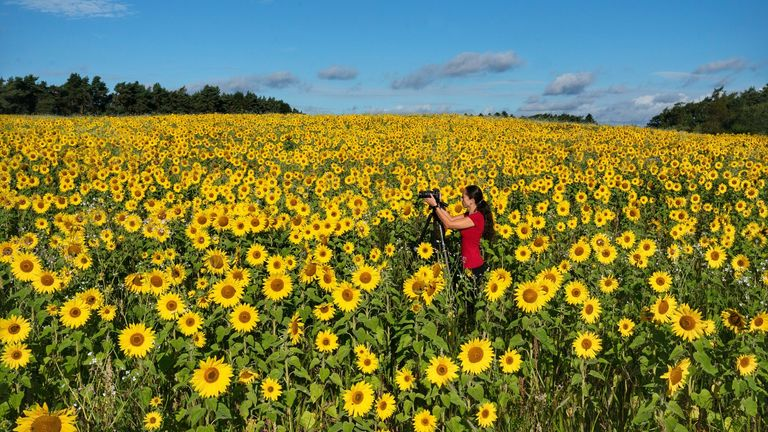 A photographer takes a picture of a field of sunflowers near Ravensworth in North Yorkshire. Picture date: Thursday September 16, 2021.