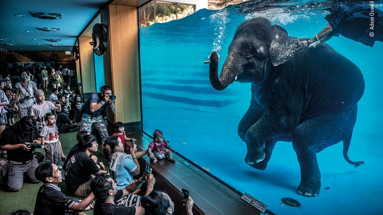 Elephant In The Room by Adam Oswell, from Australia, is the winner of the photojournalism award in the 2021 Wildlife Photographer Of The Year competition. Pic: Adam Oswell/ Wildlife Photographer Of The Year