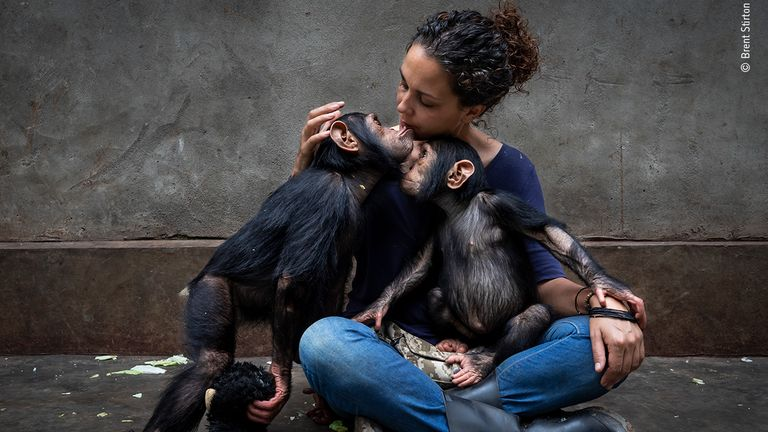 Itsazo Velez, the director at the Lwiro Chimpanzee rescue and sanctuary centre in the Democratic Republic of the Congo, introduces two new rescued baby chimps into the juvenile enclosure in Brent Stirton's image, The Healing Touch. Pic: Brent Stirton/ Wildlife Photographer Of The Year