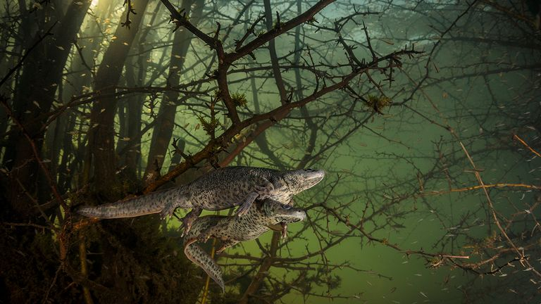 Where The Giant Newts Breed is the winner in the Behaviour: Amphibians and Reptiles category of the Wildlife Photographer Of The Year competition. Pic: João Rodrigues/ Wildlife Photographer Of The Year