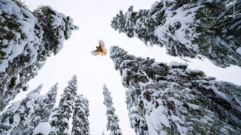 High-Flying Jay by Lasse Kurkela, from Finland Winner, is the winner in the 15-17 Years category of the 2021 Wildlife Photographer Of The Year competition. Pic: Lasse Kurkela/ Wildlife Photographer Of The Year  Lasse Kurkela (Finland) watches a Siberian jay fly to the top of a spruce tree to stash its food. Lasse wanted to give a sense of scale in his photograph of the Siberian jay, tiny among the