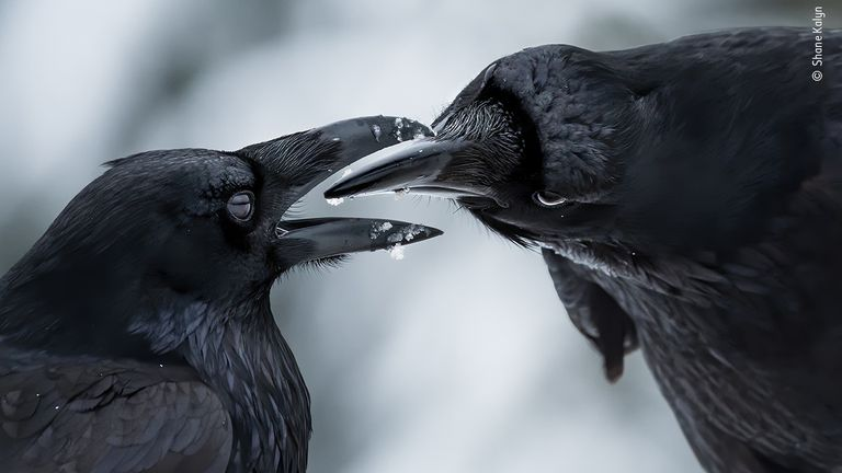 The Intimate Touch by Shane Kalyn, from Canada, is the winner in the Behaviour: Birds category of the 2021 Wildlife Photographer Of The Year competition. Pic: Shane Kalyn/ Wildlife Photographer Of The Year