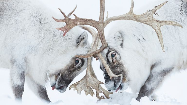 Head To Head by Stefano Unterthiner, from Italy, is the winner in the Behaviour: Mammals category of the 2021 Wildlife Photographer Of The Year competition. Pic: Stefano Unterthiner/ Wildlife Photographer Of The Year