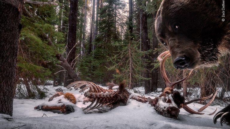 Grizzly Leftovers by Zack Clothier, from the US, is the winner in the Animals In Their Environment category of the Wildlife Photographer Of The Year 2021 competition. Pic: Zack Clothier/ Wildlife Photographer Of The Year