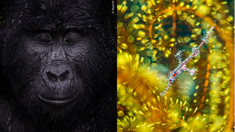 Majed Ali's image of a mountain gorilla closing its eyes in the rain is the winner in the animal portraits category of the Wildlife Photographer Of The Year 2021 competition, while Alex Mustard's ghost pipefish hiding among the arms of a feather star wins in the natural artistry category. Pics: Majed Ali/ Alex Mustard - Wildlife Photographer Of The Year